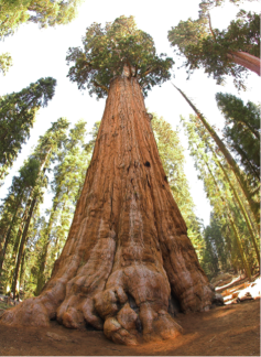 Sequoia Tree, Sequoia National Park